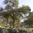 Stock Photo: Oak Tabor in Galillee.Israel