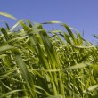 Green grass on blue sky background - Foto Stock