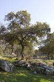Oak Tabor in Galillee.Israel — Stock Photo