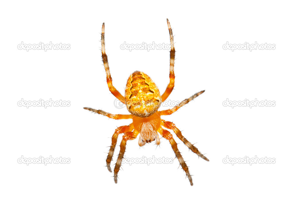 Orange spider isolated on white background — Stock Photo #11555922