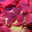 Background of red autumn leaves — Stock Photo