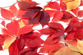 Scattered red autumn leaves. Virginia creeper leaves. — Stockfoto