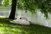 Mute swan on grass under the tree — Stock Photo