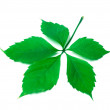 Green virginia creeper leaf on white background - Stock Photo