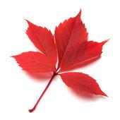 Red autumn leaf on white background — Stock Photo