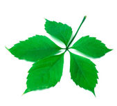 Green virginia creeper leaf on white background — Stock Photo