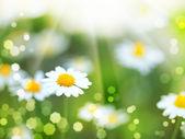 Daisy flowers and sun beam — Stock Photo
