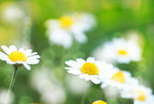 Abstract summer backgrounds with daisy flowers — Stock Photo