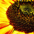 Sunflower. Abstract natural backgrounds — Stock Photo