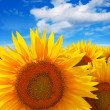 Stock Photo: Sunflower field against blue sky