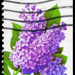 USA - CIRCA 1993 Lilac - Stock Photo