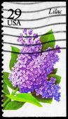 USA - CIRCA 1993 Lilac — Stock Photo