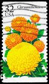 USA - CIRCA 1995 Chrysanthemum — Stock Photo