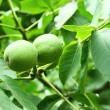 Walnut tree — Stockfoto