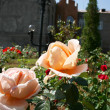 Roses in garden — Stock Photo