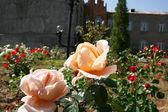 Roses in garden — Stock Photo