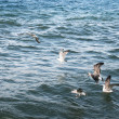 Stock Photo: Seagulls on lake Sevan