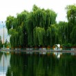 Willow trees at the lake — Stock Photo #10786452