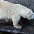 Polar bear — Stock Photo #11764250