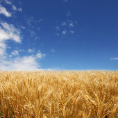 Golden wheat field against deep blue sky — Stock Photo