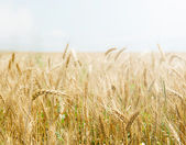 Golden wheat field against light clear sky. Copyspace at the top. — Stock Photo