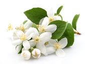 Beauty jasmine — Stock Photo
