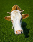 Funny cow on meadow - a close-up portrait — Stock Photo