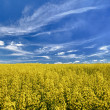 The field of flowering oilseed rape — Stock Photo