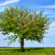 Tree in the field — Stock Photo #11043142