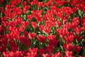 Blommande Röda tulpaner — Stockfoto