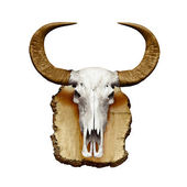 Bull skull with horns on white — Stock Photo