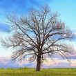 Oak tree without leaves — Stock Photo