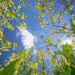 Sky framed by flowering oilseed rape — Stock Photo