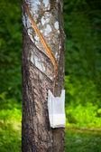 ラテックスの生産のためのタップ パラゴムノキのツリー — ストック写真