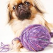 图库照片: Pekingese dog a white background with space for text