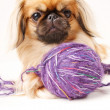 Stock Photo: pekingese dog a white background with space for text