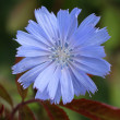 Common chicory — Stock Photo #11975115