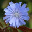 Common chicory — Stock Photo