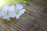 Blue flowers of flax — Stock Photo