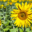 Stock Photo: Fully blossomed sunflower