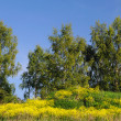 Yellow Field Flowers and Birch-trees — Stockfoto