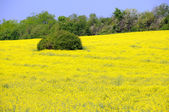 Field of Yellow Lucerne Flowers — Stock Photo