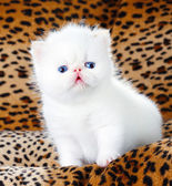 White persian kitten — Stock Photo