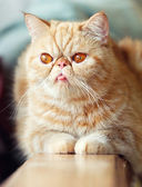 Persian cat — Stock Photo