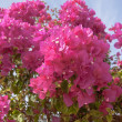 Pink flowers on the bush at summer day - Stock Photo