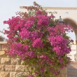 Pink flowers on the bush at summer day — Foto de Stock