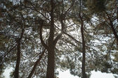 Upper branches of fir trees — 图库照片