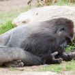 Gorilla — Stock Photo #10996183