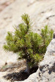 Small pine — Stock Photo