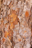 Pines bark — Foto Stock